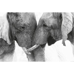 Poster Elephant - Touch, (91.5 x 61 cm)