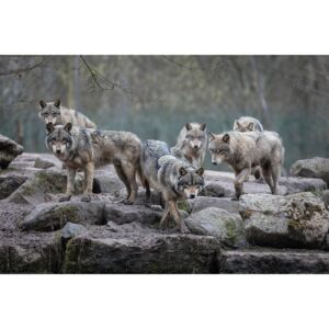 Wolves - Grey Wolf Poster, (91,5 x 61 cm)