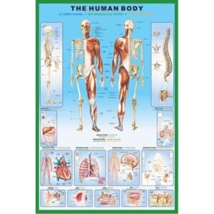 Poster The human body, (61 x 91,5 cm)