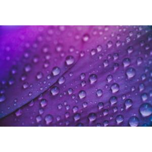 Raindrop on a lilac-rose flowers, (128 x 85 cm)